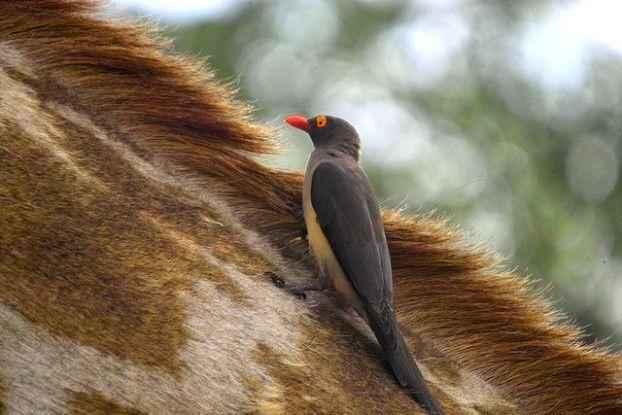 жираф и буйволовый скворец