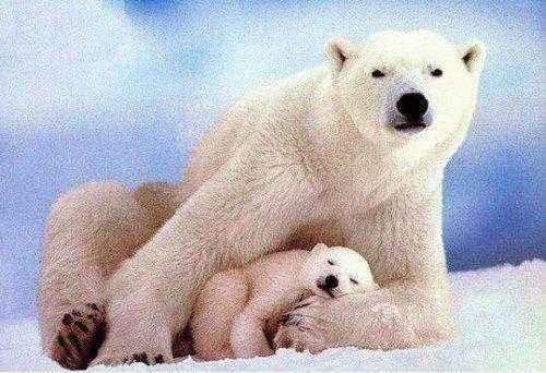 Животные, находящиеся под угрозой исчезновения из-за изменения климата 10