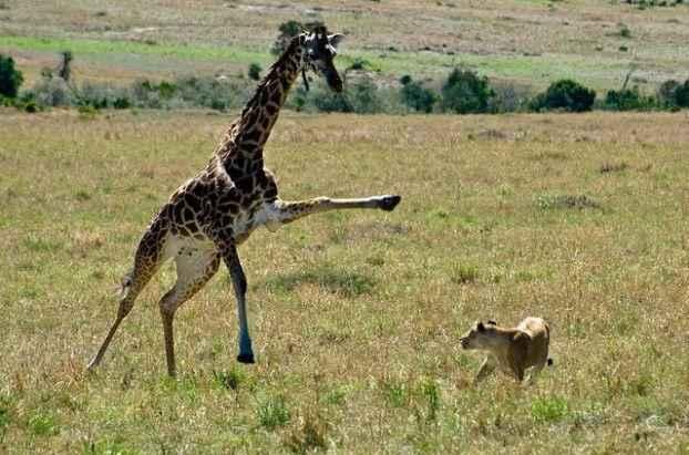 жираф против льва