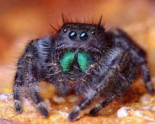 Phidippus-audax-(прыгающий-паук)