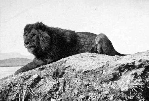 Барбарийский-лев