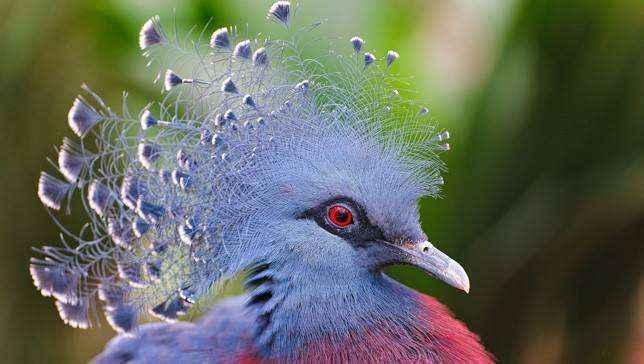 Виктория короновала голубя