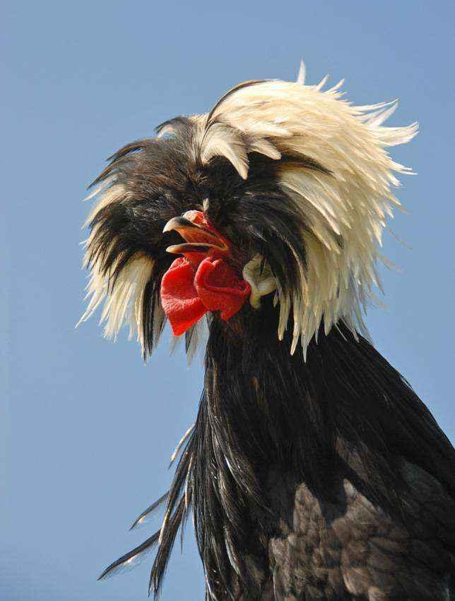 Голландская чёрная белохохлая