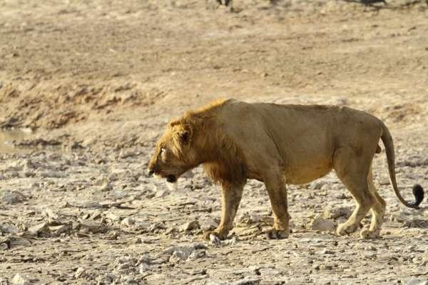 Западноафриканский лев