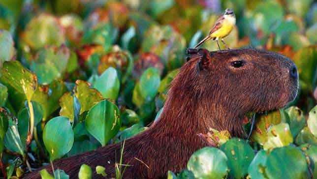 Капибара-и-птичка