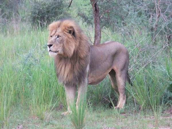 Конголезский лев
