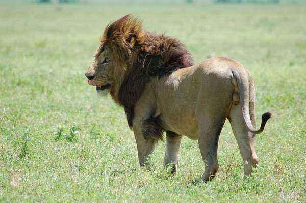 Масайский лев