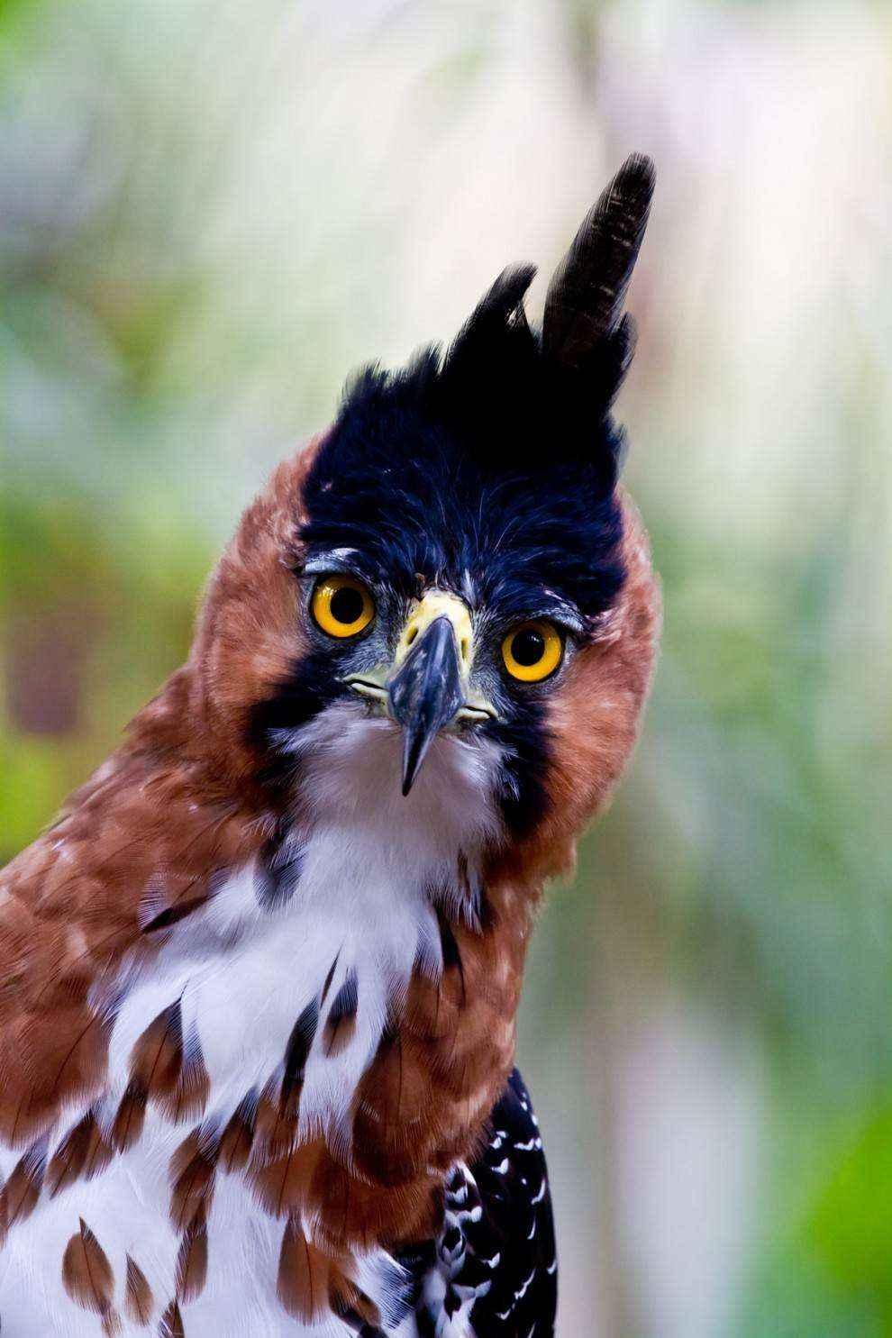 Нарядный хохлатый орел