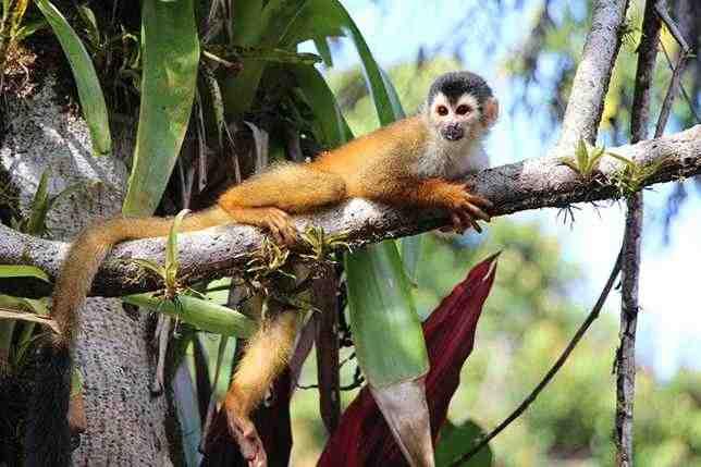 Обыкновенные беличьи обезьяны