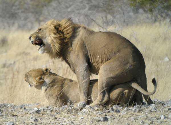 Размножение-львов