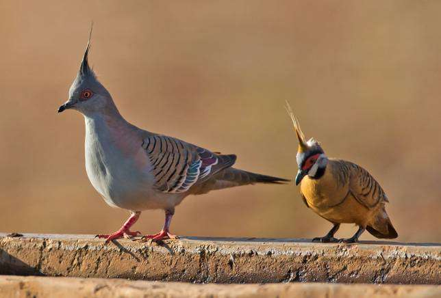 Хохлатый бронзовокрылый и Острохохлый каменный голубь