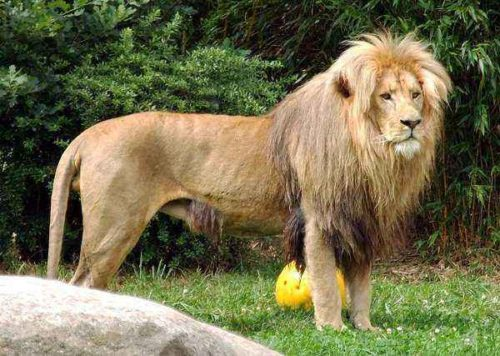 Юго-западный африканский лев