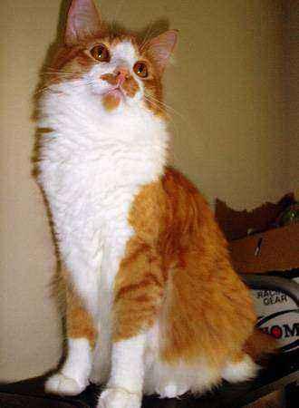 кошка с бородкой и усами
