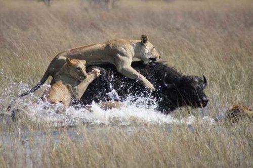 львицы-отаковали-буйвола