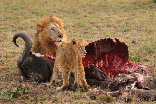 львы-едят-буйвола