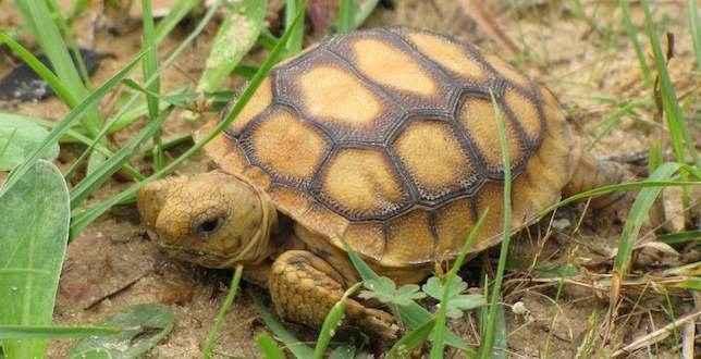 молодая черепаха-гофер