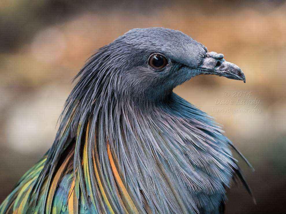 никобарский голубь