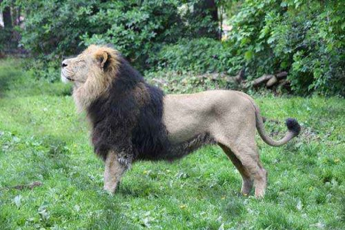 фото-азиатского-льва
