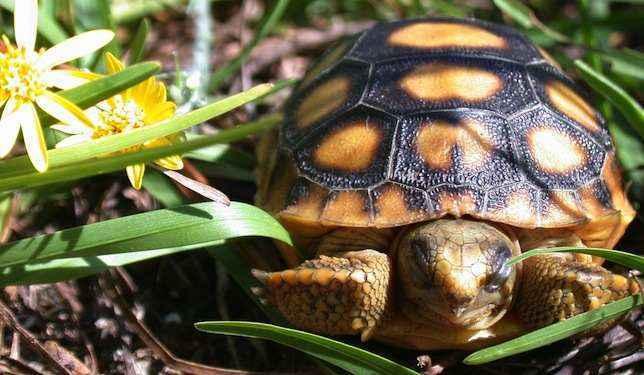 черепаха-гофер