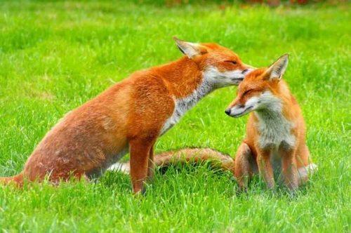 Отряд хищные млекопитающие: классификация, распространение, характеристика и значение 3