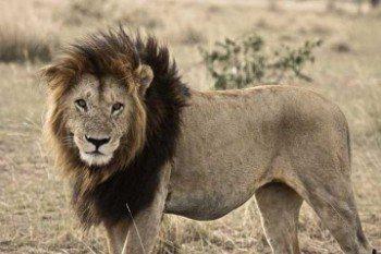 самец-лев