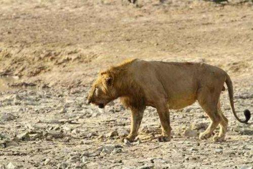 Лев - описание, ареал, размножение, питание, поведение, угрозы, подвиды, видео и фото 3