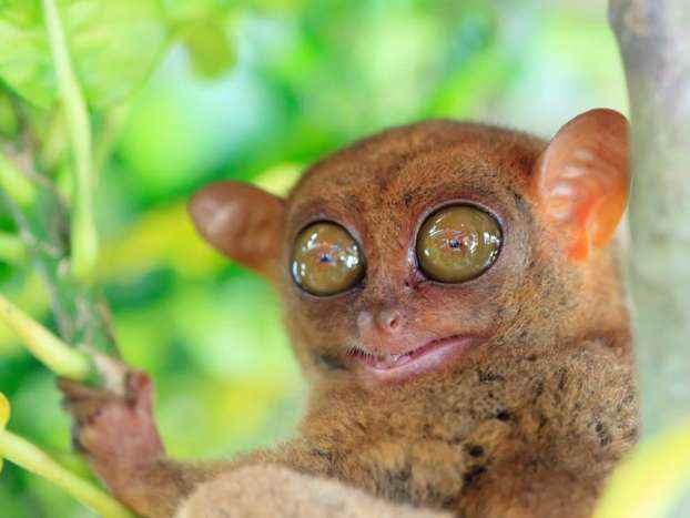tarsier-2