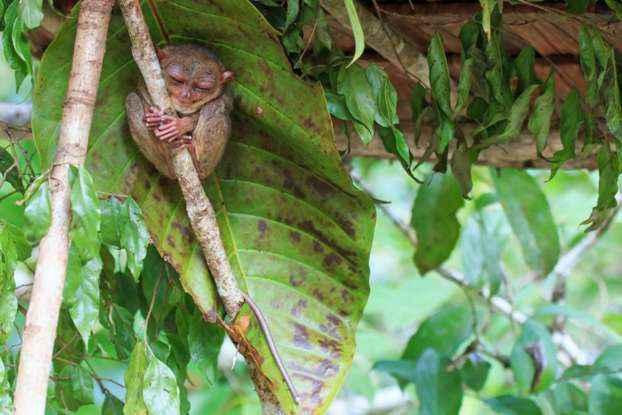 tarsier-3