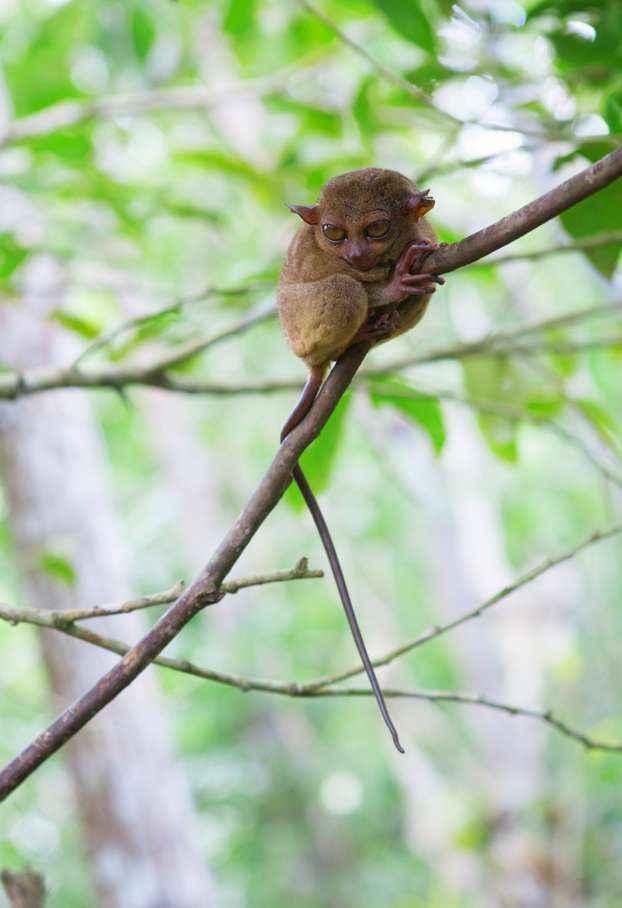 tarsier-5