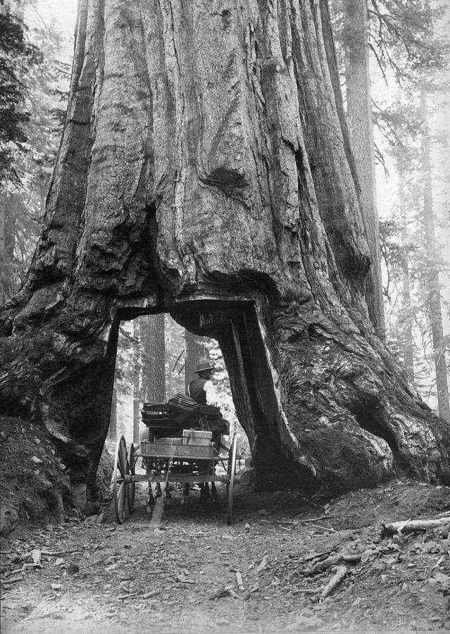 yosemite-sequoia-carleton-e-watkins