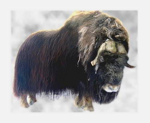 Овцебык чем питается мускусный бык где обитает описание фото