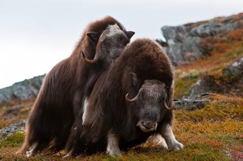 Овцебык (мускусный бык) - размножение
