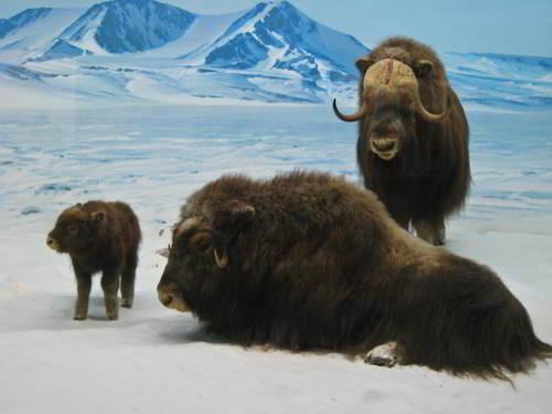 Овцебык (мускусный бык) - среда обитания