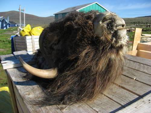 Овцебык (мускусный бык) - угрозы