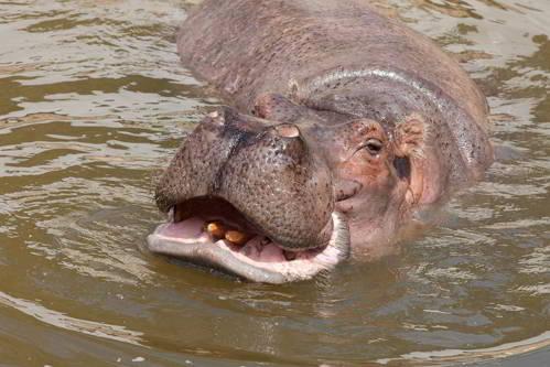 бегемот плавает