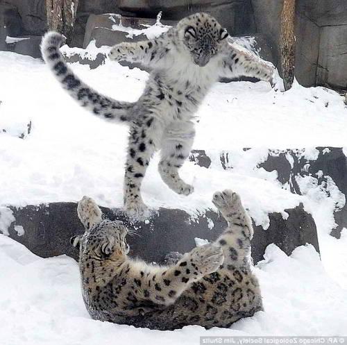 Котята снежный барс фото