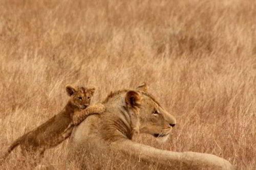 Лев - описание, ареал, размножение, питание, поведение, угрозы, подвиды, видео и фото 2