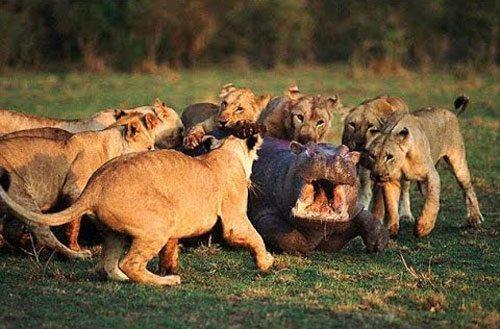 львы-напали-на-бегемота