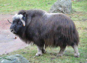 Овцебык (мускусный бык)