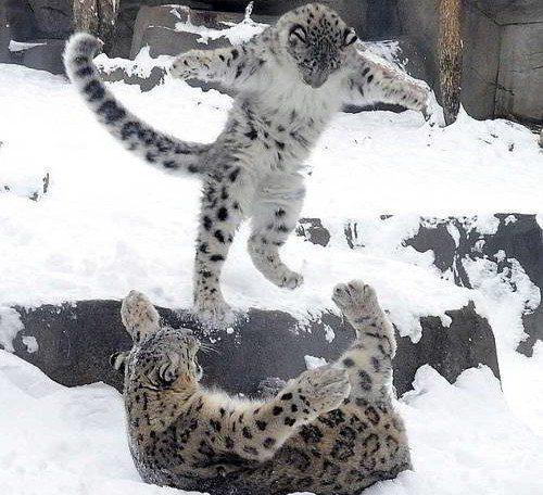 два снежных барса