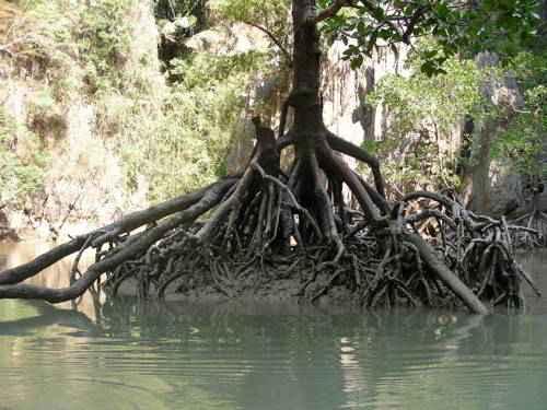 корни Мангровых деревьев