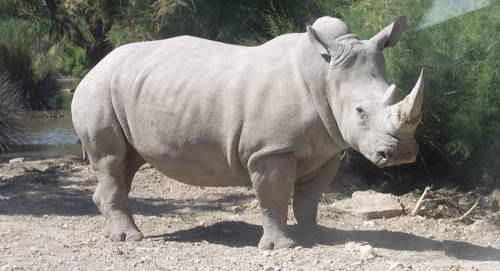 Белый носорог