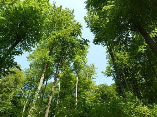 Бука, лиственный лес