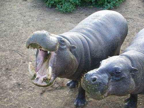 Карликовые бегемоты