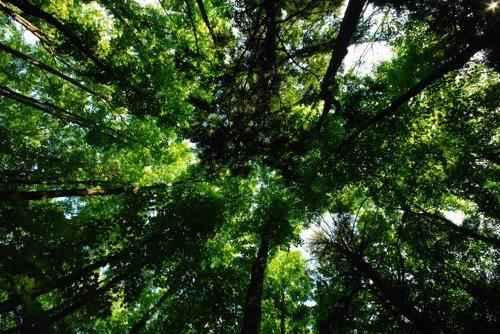 Полог леса
