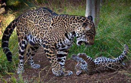 Размножение и Жизненный цикл ягуаров