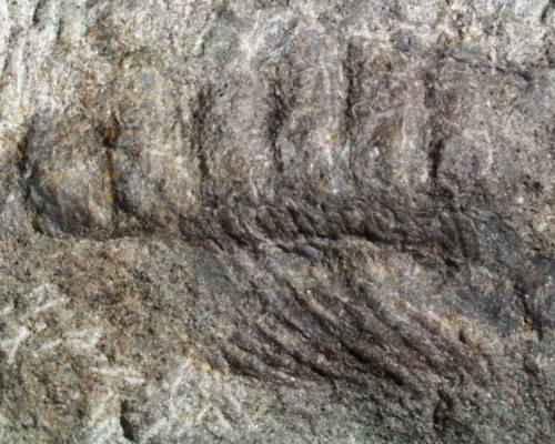 ископаемые многоножки