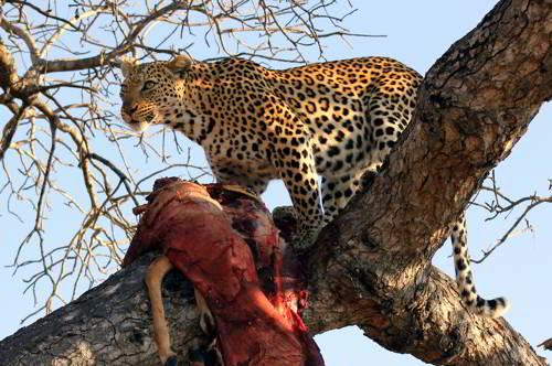 питание леопарда