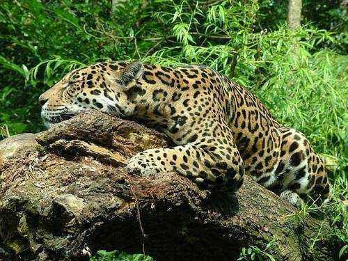поведенение ягуаров