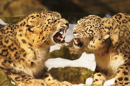 поведение леопардов